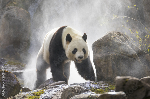 La pose en embrasure Panda Cute panda Nature Fog
