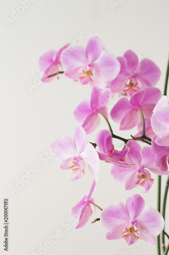 Recess Fitting Orchid Pink orchid phalaenopsis on a light background. Flowering orchids.