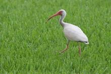 White Ibis Walking In Grass