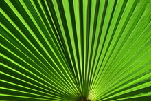 Bright Green Palm Frond Close Up With Striped Pattern.