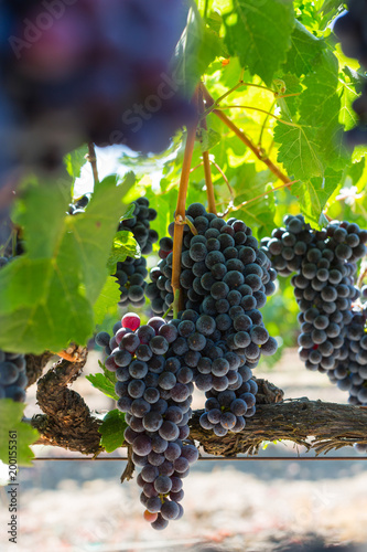 Poster Wijngaard Vineyard Grapes