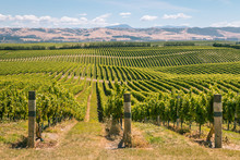 Rolling Hills With Vineyards I...