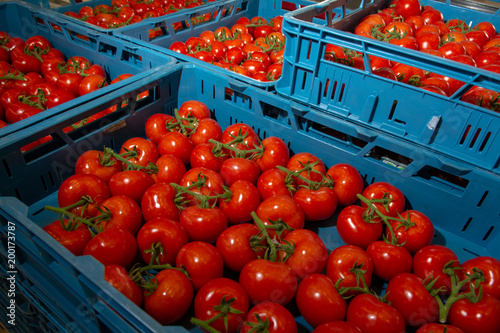 Sorting and packaging line of fresh ripe red tomatoes on vine in Dutch greenhouse, bio farming in Europe
