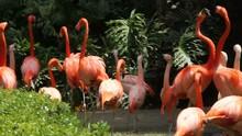 Male Flamingo Birds Arguing An...