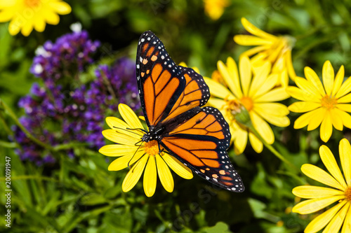 Monarch Butterfly Feeds On A Bright Yellow Flower In Arizonas