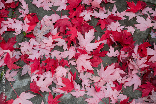 Maple leaves fallen on the road