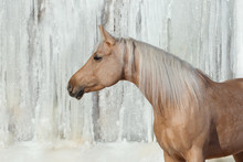 Portrait Of Palomino Horse On White Winter Iced Snowy Background Isolated