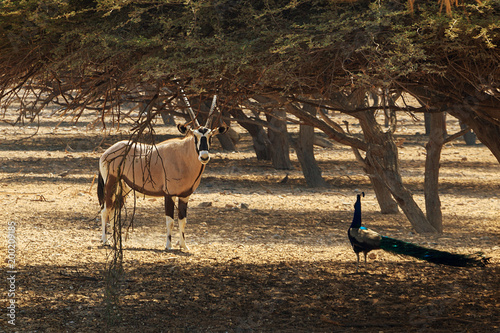 Papel de parede Arabian oryx or white oryx (Oryx leucoryx) and peacock in reserve, natural habitat, UAE, Abu Dhabi, island Sir Bani Yas