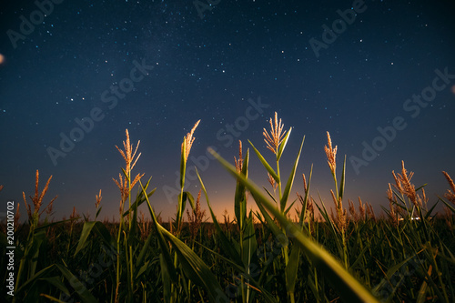 Poster de jardin Nuit Night Starry Sky Above Green Maize Corn Field Plantation In Summer