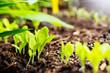 canvas print picture - Jungpflanzen, Setzlinge im Beet