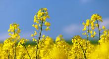 Flowering Rapeseed Canola Or C...