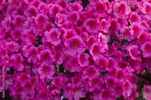 Keuken foto achterwand Azalea Azalea Rhododendron flowers background