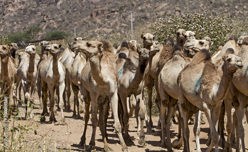 herd of camels in ethiopia