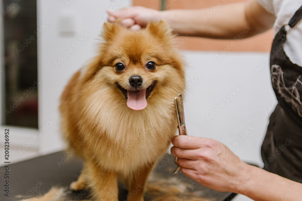 grooming dogs Spitz Pomeranian in the cabin