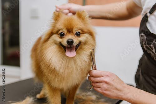 Fotografía grooming dogs Spitz Pomeranian in the cabin