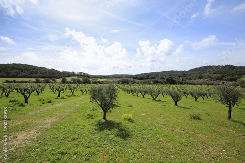 Spoed Foto op Canvas Wit rural landscape with olive trees, lots of green and blue sky