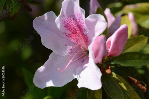 Flowers of Azalea