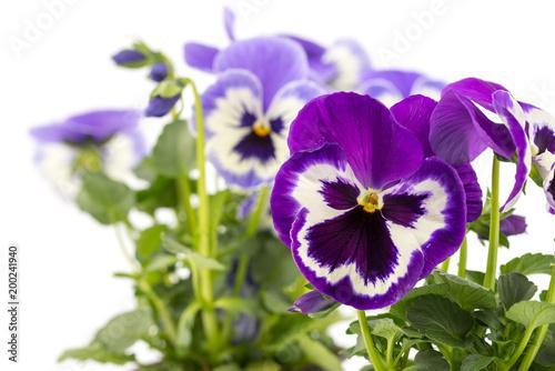 Foto op Canvas Pansies Viola wittrockiana