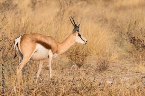 Staande foto Antilope Springbock