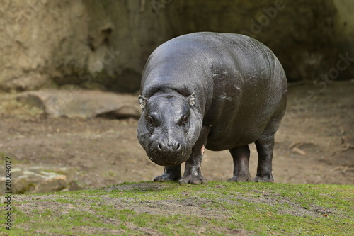hippopotamus liberian in the nature looking habitat. Wild and very rare animal in captivity. Beautiful creature. Choeropsis liberiensis