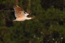Crested Ibis Bird Flying In The Sunset