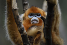Golden Snub Nosed Monkey With ...