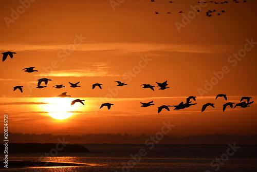 Gänse und Kraniche im Morgenlicht