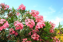 Oleander Flower With Green Leaf In The Background And Blue Sky With Cloud
