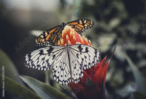 Poster Vlinder Spain, Canary Islands, butterflies on flower