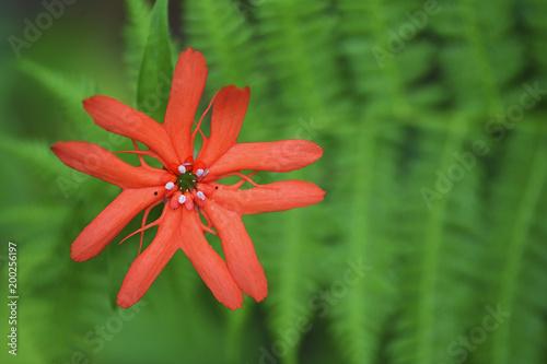 Foto op Canvas Bloemen Sweet Orange Catchfly flower
