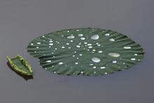 Raindrops On The Leaves Of Sacred Lotus