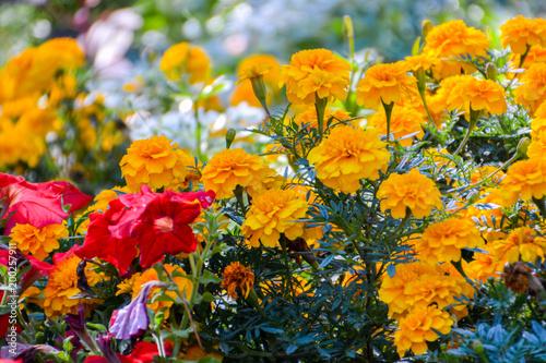 Plakat Tagetes w ogrodzie. Aksamitki kwiaty ogrodowe. Tagetes - magiczne kwiaty. Kwiat ogród. Zbliżenie z rozmycia.