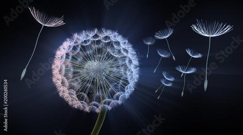 dandelion-przed-ciemnym-tlem