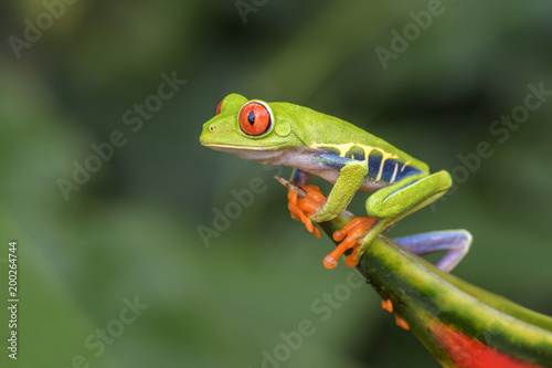 Tuinposter Kikker Red-eyed Tree Frog - Agalychnis callidryas, beautiful colorful from iconic to Central America forests, Costa Rica.