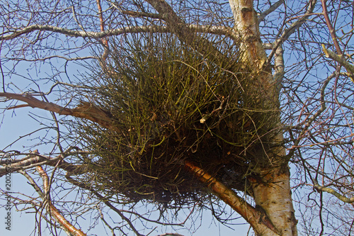 Witches' broom, a deformity caused by a fungus, in a Birch tree