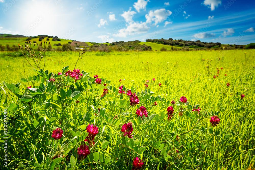 Dzicy czerwoni kwiaty na wzgórzu z niebieskim niebem w tle