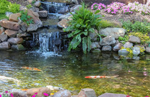 Koi Swim Down Stream Past Wate...