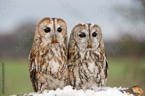 Tawny Owl (Strix aluco)/Tawny Owls perched on a branch