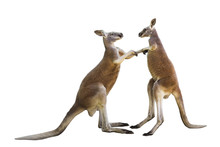 Fighting Two Red Kangaroos On ...