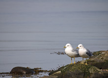 Two Common Gulls On A Rock Sur...