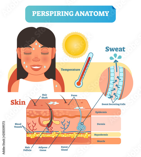 Perspiring Anatomical Skin Cross Section Vector Illustration Diagram with Sweat Secreting Cells Canvas-taulu