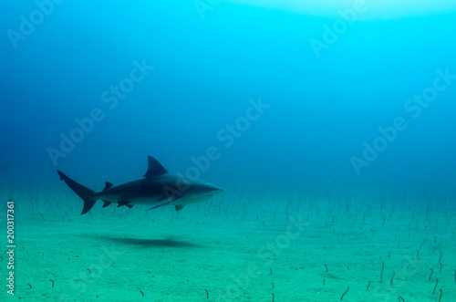 Bull Shark (Carcharhinus leucas). reefs of the Sea of Cortez, Pacific ocean. Cabo Pulmo, Baja California Sur, Mexico.