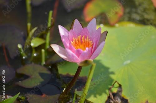 Foto op Canvas Waterlelies 睡蓮の開花