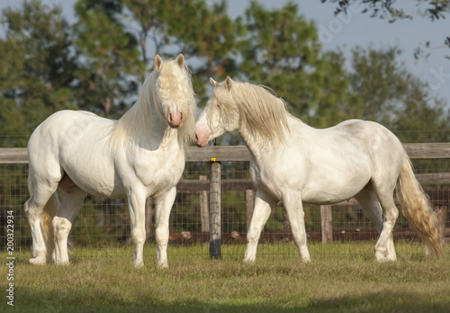 Pair of American White draft horse stallions Poster