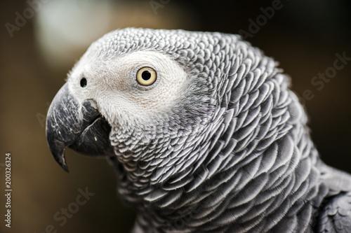 Tuinposter Papegaai Close up of an African Grey Parrot