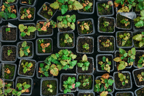 Central Europe Strawberry seedlings in plastic boxes, top view, in modern hydroponic greenhouse for cultivation of flowers and ornamental plants