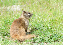 One Brown Ground Squirrel Sitting In Green Grass. California Ground Squirrels Are Often Regarded As A Pest In Gardens And Parks, Since They Will Eat Ornamental Plants And Trees.