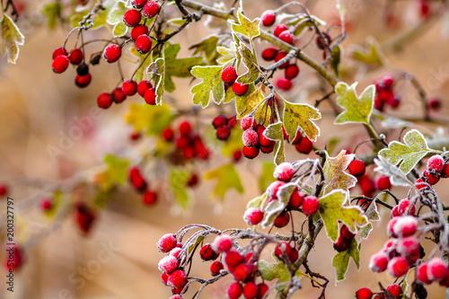 Obraz Red hawthorn berries on a frosty morning in November  - fototapety do salonu