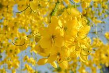 Golden Shower (Cassia Fistula) Symbol Flower Of Khonkaen Province,Thailand