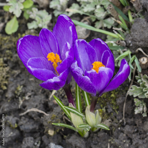 Poster Krokussen Purple flowers crocus.